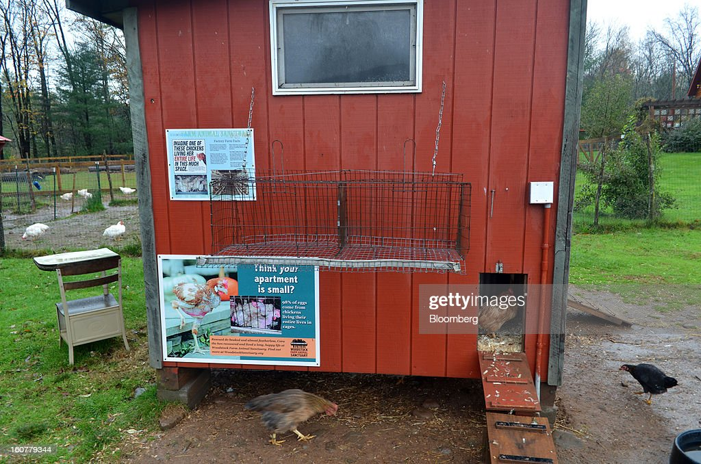 Chickens enjoy spacious living conditions at Woodstock Animal Farm Sanctuary in Willow, New York, U.S., on Friday, Oct. 19, 2012. Signs posted throughout the sanctuary educate the public on the consequences of eating meat. Photographer: Mike Di Paola/Bloomberg via Getty Images