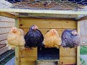 Four Peking bantam chickens sitting on their perch.