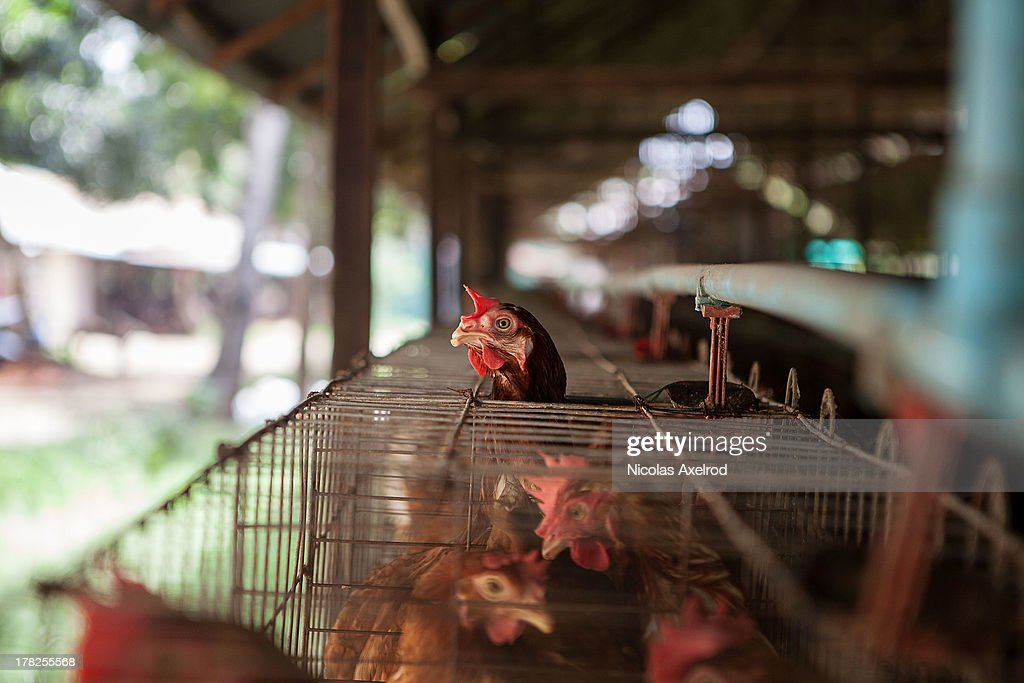 Chickens in holding pens at an egg farm south of Phnom Penh on August 26, 2013 in Preak Palap, Kandal Province, Cambodia. Cambodia has seen the worst out break of Avian influenza H5N1 since the disease was first identified, so far this year 17 cases have been report, 10 of which have been fatal.