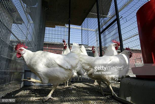 Chickens kept by San Bernardino County's Vector Control Program in an area where West Nile Virus has been found and which are periodically tested for...