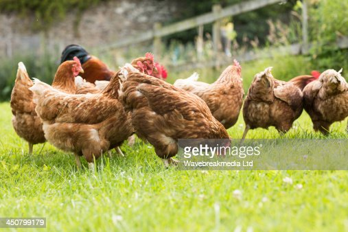 Chickens on a lawn : Foto stock