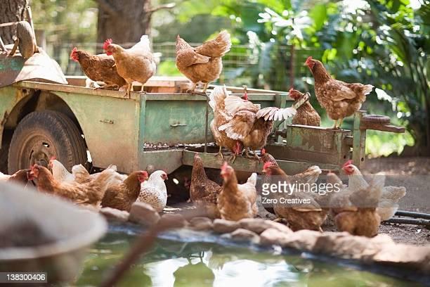 Chickens on truck in barnyard
