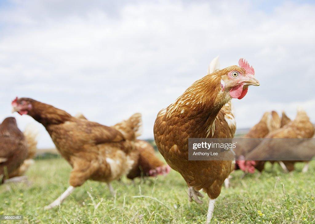 Chickens running in field