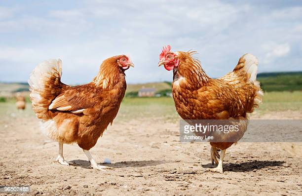 Chickens standing face to face in field