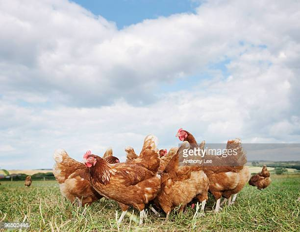 Chickens standing in field