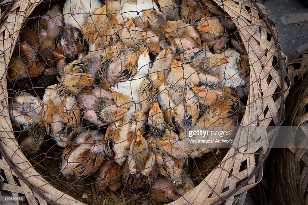 Chicks for sale at market, Yuanyang, China : Stock Photo