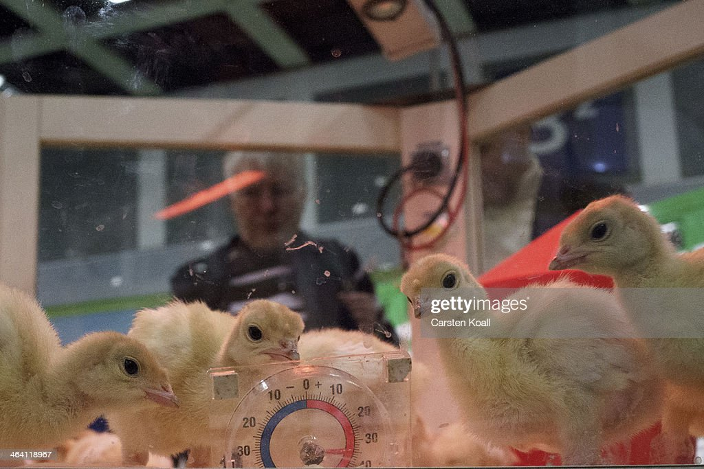 Chicks peck one on a thermometer in a heat box at the Gruene Woche agricultural trade fair on January 20, 2014 in Berlin, Germany. The Gruene Woche is the world's largest agricultural trade fair and is open to the public until January 26.
