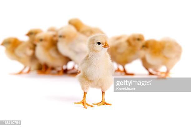 「Chicks 」