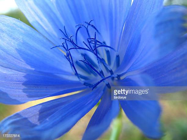 Chicory Closeup