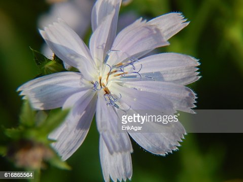 Chicory Flower in Bloom : Stock Photo