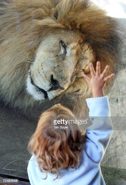 A chid waves and punds on the protective glass and awakens a sleeping lion named John September 16 2002 at Brookfield Zoo in Brookfield Illinois