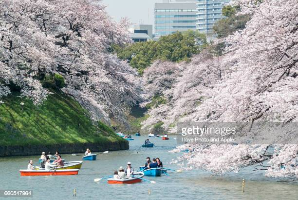 Chidorigafuchi of cherry blossoms in full bloom
