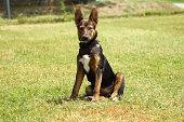 un chien au regard attentif ,espiègle et oreilles droite assis dans l'herbe verte