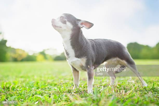 Chihauaha on grass