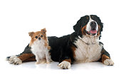 chihuahua and bernese mountain dog in front of white background