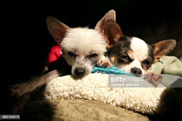 Chihuahua and chinese crested dogs lying on couch in the sun