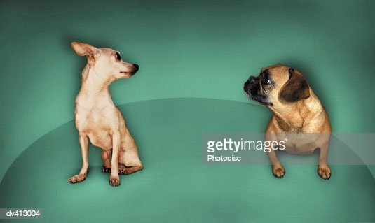 Chihuahua and Pug looking at each other : Stock Photo