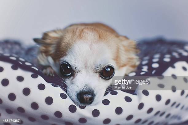 Chihuahua close up