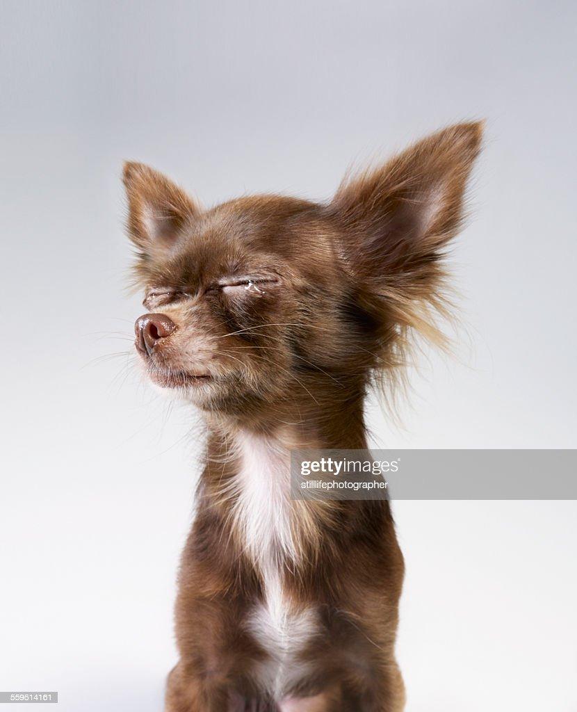 Chihuahua crying : Stock Photo