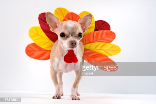 Chihuahua dog dressed up as a turkey