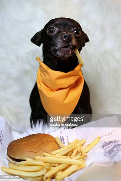 Chihuahua dog eating a burger and fries