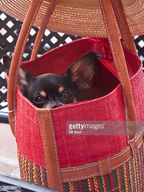 Chihuahua dog hiding in a handbag