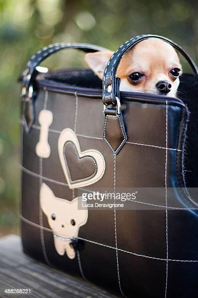 Chihuahua dog in a bag
