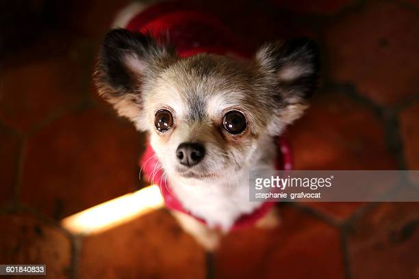 Chihuahua Dog in red sweater looking up