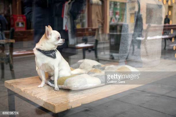 Chihuahua Dog in Store Window, Reykjavik, Iceland