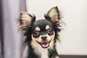 Chihuahua dog is a happy smile.