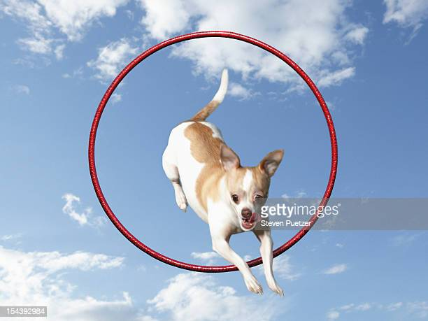 A Chihuahua dog jumping through a red hoop