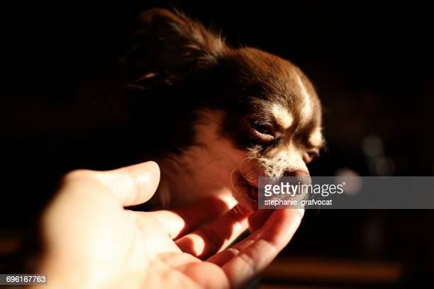 Chihuahua dog licking womans hand