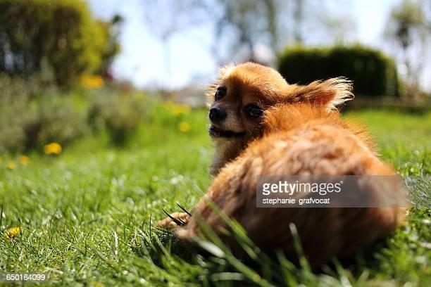 Chihuahua dog lying in garden in sun