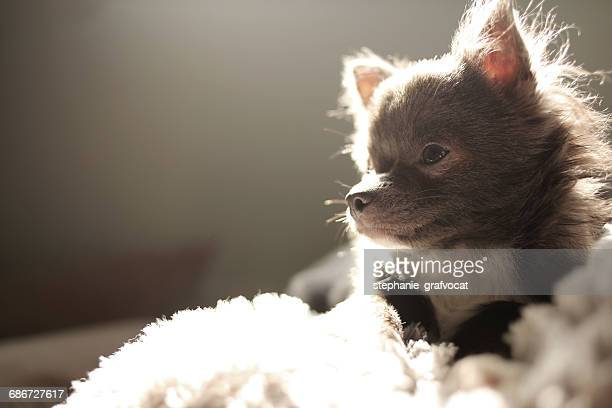 Chihuahua dog lying on couch in sunlight