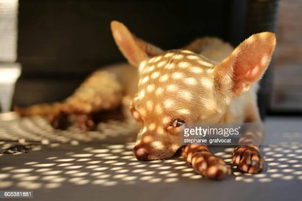 Chihuahua dog lying on floor in shadows