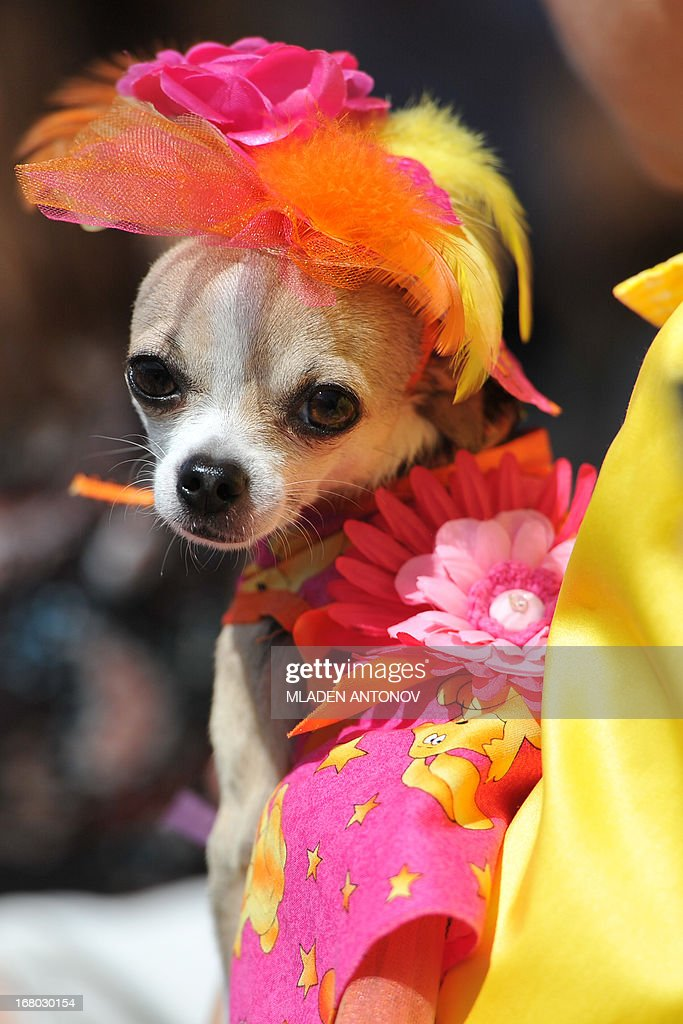 A Chihuahua dog owner presents her dressed up pet during the 'Run of the Chihuahuas' annual race in Washington on May 4, 2013. The annual Chihuahua race marks the Mexican holiday Cinco de Mayo celebrated on May 5. AFP PHOTO / MLADEN ANTONOV