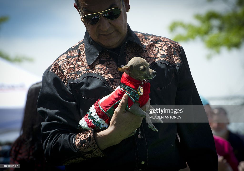 A Chihuahua dog owner presents his dressed up pet during the 'Run of the Chihuahuas' annual race in Washington on May 4, 2013. The annual Chihuahua race marks the Mexican holiday Cinco de Mayo celebrated on May 5.