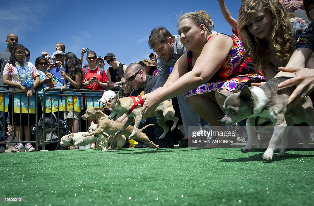 Chihuahua dog owners release their pets to compete in the 'Run of the Chihuahuas' annual race in Washington on May 04, 2013. The annual Chihuahua race marks the Mexican holiday Cinco de Mayo celebrated on May 5. AFP PHOTO / MLADEN ANTONOV