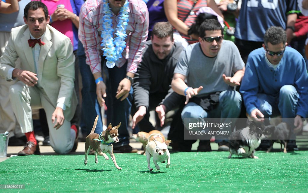 Chihuahua dog owners release their pets to compete in the 'Run of the Chihuahuas' annual race in Washington on May 4, 2013. The annual Chihuahua race marks the Mexican holiday Cinco de Mayo celebrated on May 5. AFP PHOTO / MLADEN ANTONOV