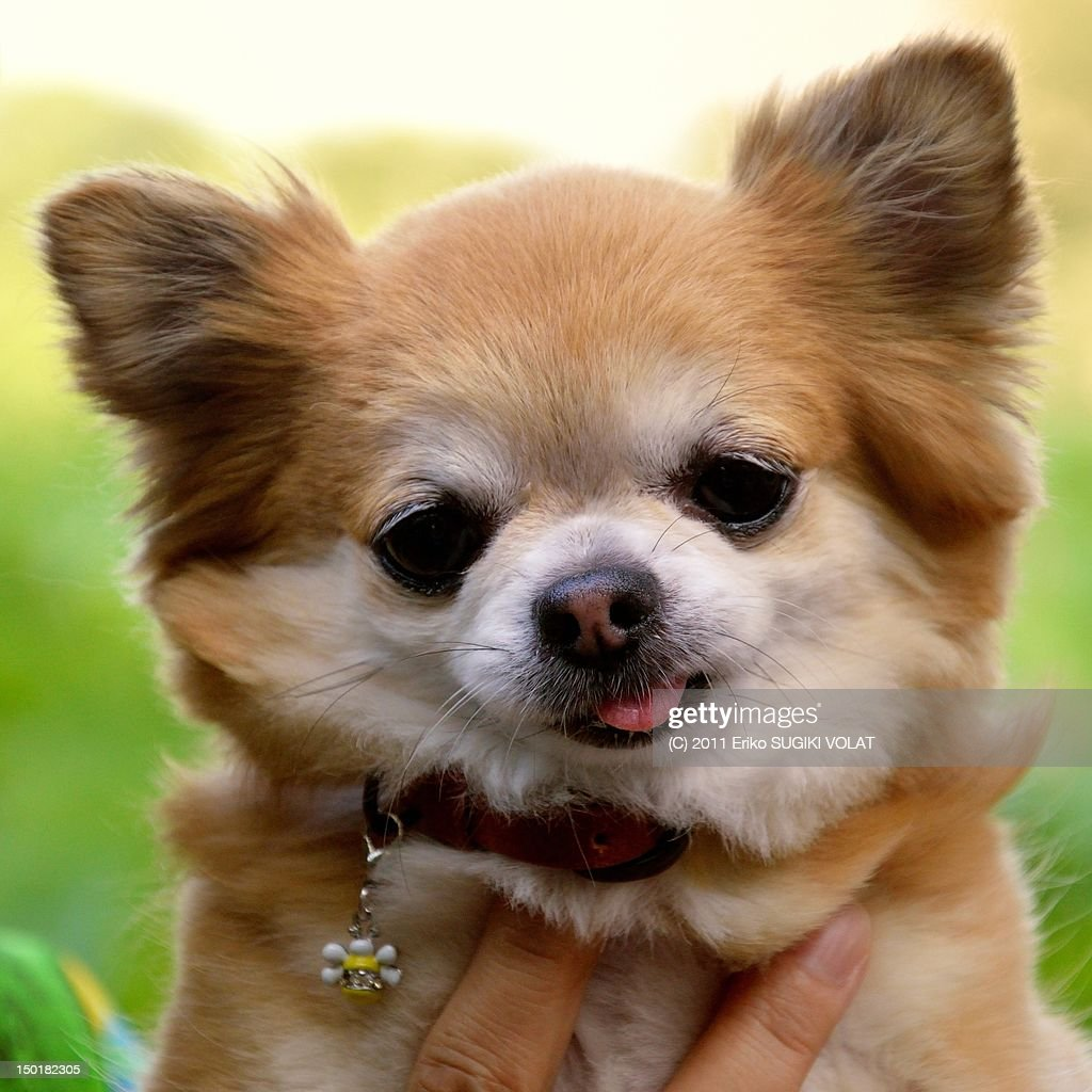Chihuahua dog : Stock Photo