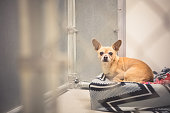 A cute and small Chihuahua dog resting on a dog bed in an animal shelter and looking toward camera with a sad, but hopeful, expression on his face. .