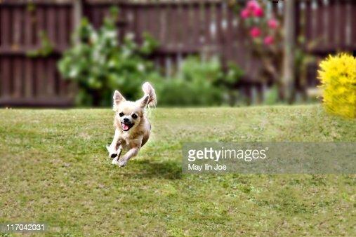 Chihuahua dog running