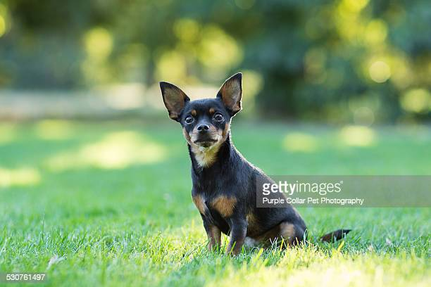Chihuahua Dog Sitting on Grass Outdoors