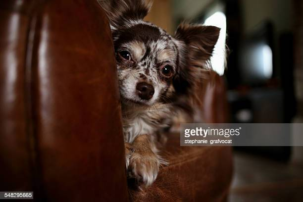 Chihuahua dog sitting  on leather couch