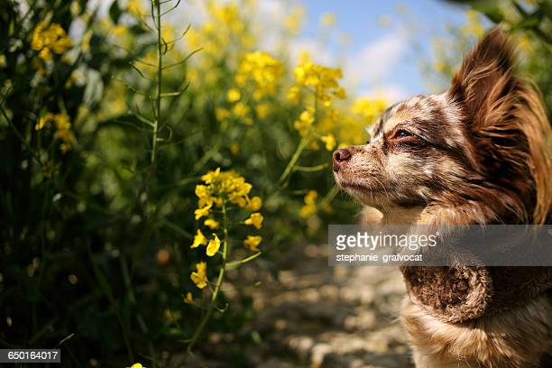 Chihuahua dog standing in canola field