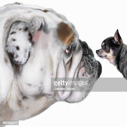 Chihuahua dog staring at Bulldog