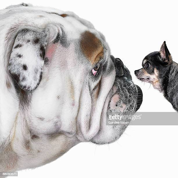 Chihuahua dog staring at Bulldog