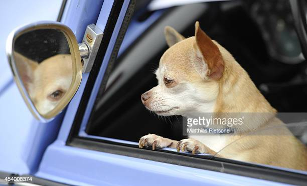Chihuahua dog waits inside a Trabant 601 car as fans of the East German Trabant car gather for their 7th annual gettogether on August 23 2014 in...