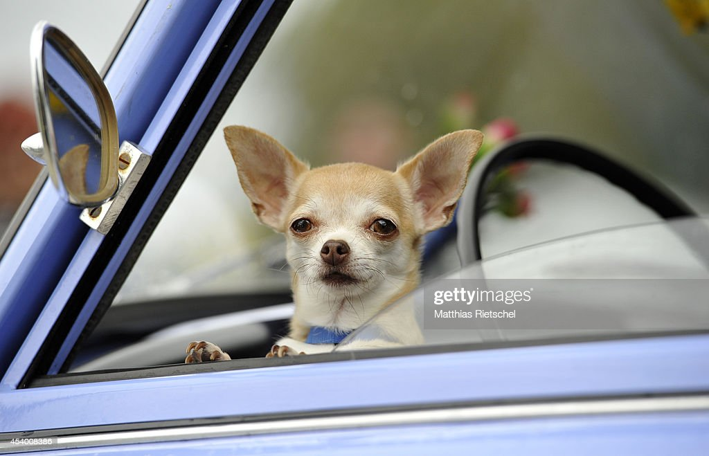 A Chihuahua dog waits inside a Trabant 601 car as fans of the East German Trabant car gather for their 7th annual get-together on August 23, 2014 in Zwickau, Germany. Hundreds of Trabant enthusiasts arrived to spend the weekend admiring each others cars, trading stories and enjoying activities. The Trabant, dinky and small by modern standards, was the iconic car produced in former communist East Germany and today has a strong cult following.