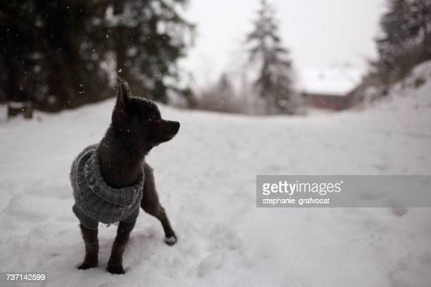 Chihuahua dog wearing a sweater standing in the snow